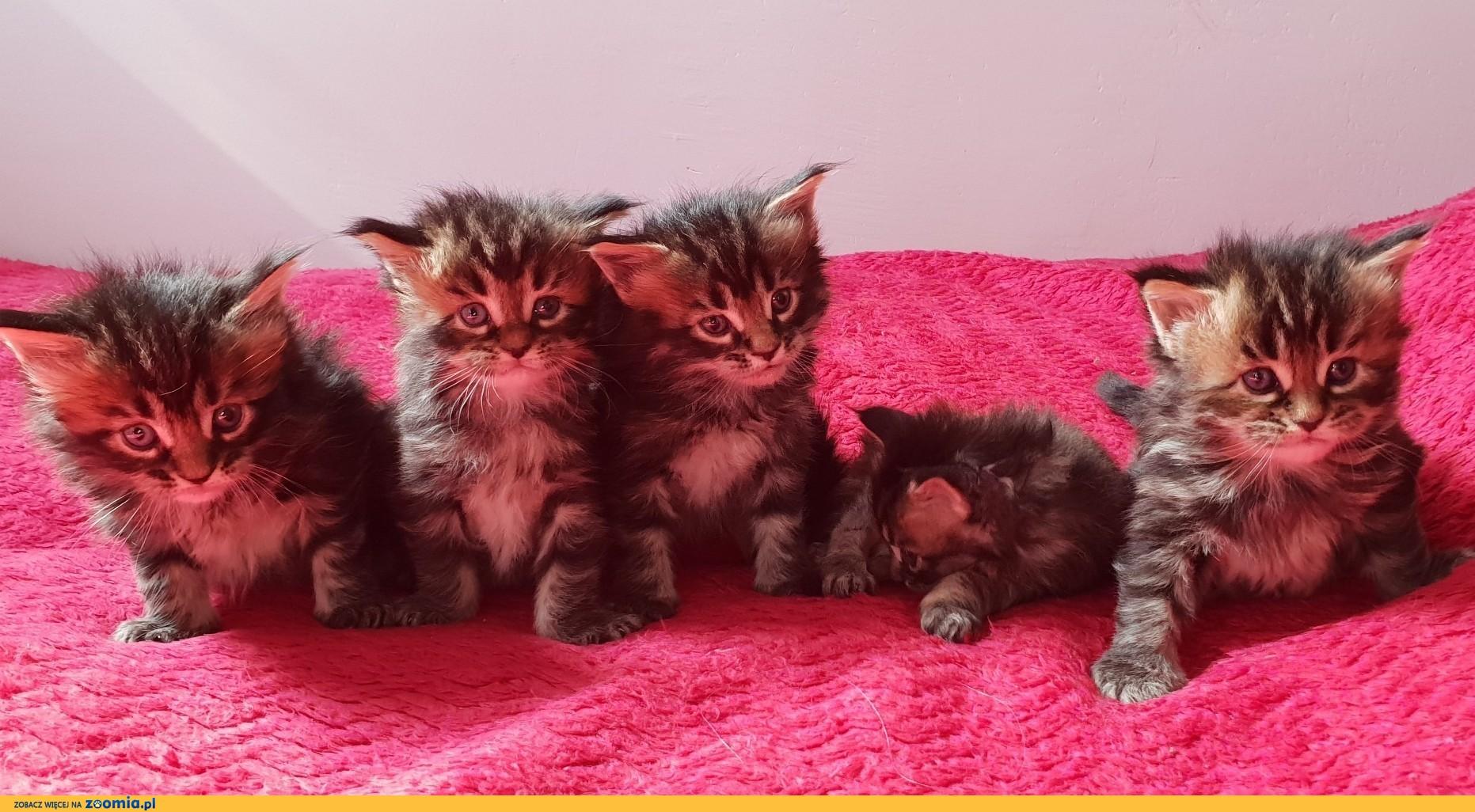 !!! zapraszamy do rezerwacji - piękne kotki Maine Coon po Championach !!!