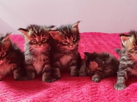 !!! zapraszamy do rezerwacji - piękne kotki Maine Coon po Chionach !!!