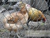 Araukana-,jaja lęgowe