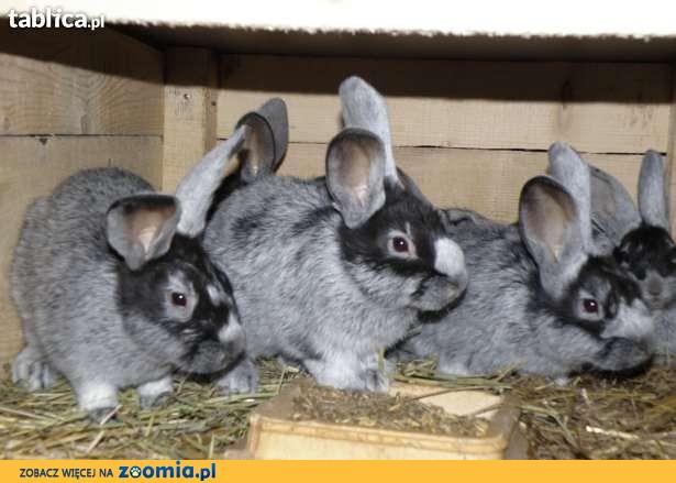 króliki WJS