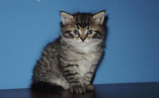 Kociaki syberyjskie z rodowodem!!!   małopolskie Olkusz