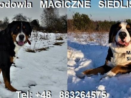 Duży Szwajcarski Pies Pasterski szczeniaki po idealnych rodzicach
