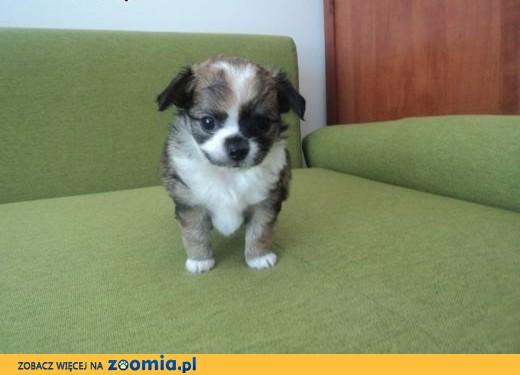 Sprzedam Chihuahua,  świętokrzyskie Kielce