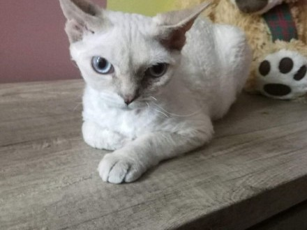 Chłodny kotki Devon rex Toruń « Devon Rex Toruń « Koty Toruń « Ogłoszenia GY45