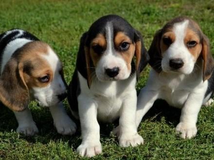 Beagle Piękne Szczenięta Tricolor