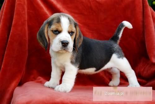Beagle-rodowodowe szczeniaki