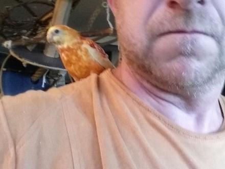 Papuga oswojona, ręcznie karmiona, mnicha, rozella, świergotka sprzedam