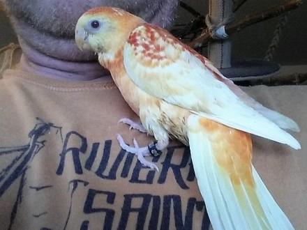 Papuga oswojona  ręcznie karmiona  mnicha  rozella  świergotka sprzedam