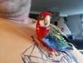 'Papuga oswojona, ręcznie karmiona, mnicha, rozella, świergotka sprzedam
