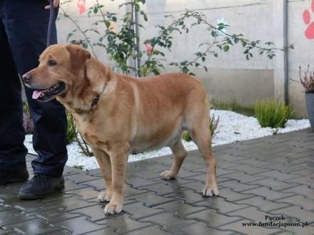 Pączek - śliczny rudy mix labradora do adopcji