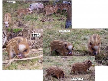 Göttingen miniaturowych świń