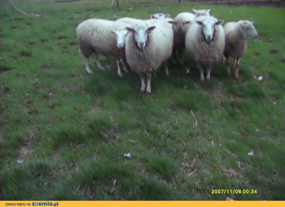 Owce Olkuskie
