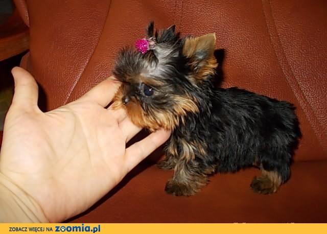 York*Yorki*Yorkshire Terrier*PRZECUDNA MACIUPEŃKA sunia CUDO