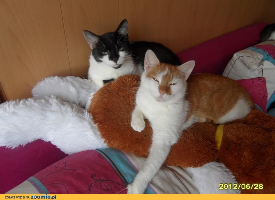 Szukam dobrego domu dla moich kotów Bryzy i Gizma.