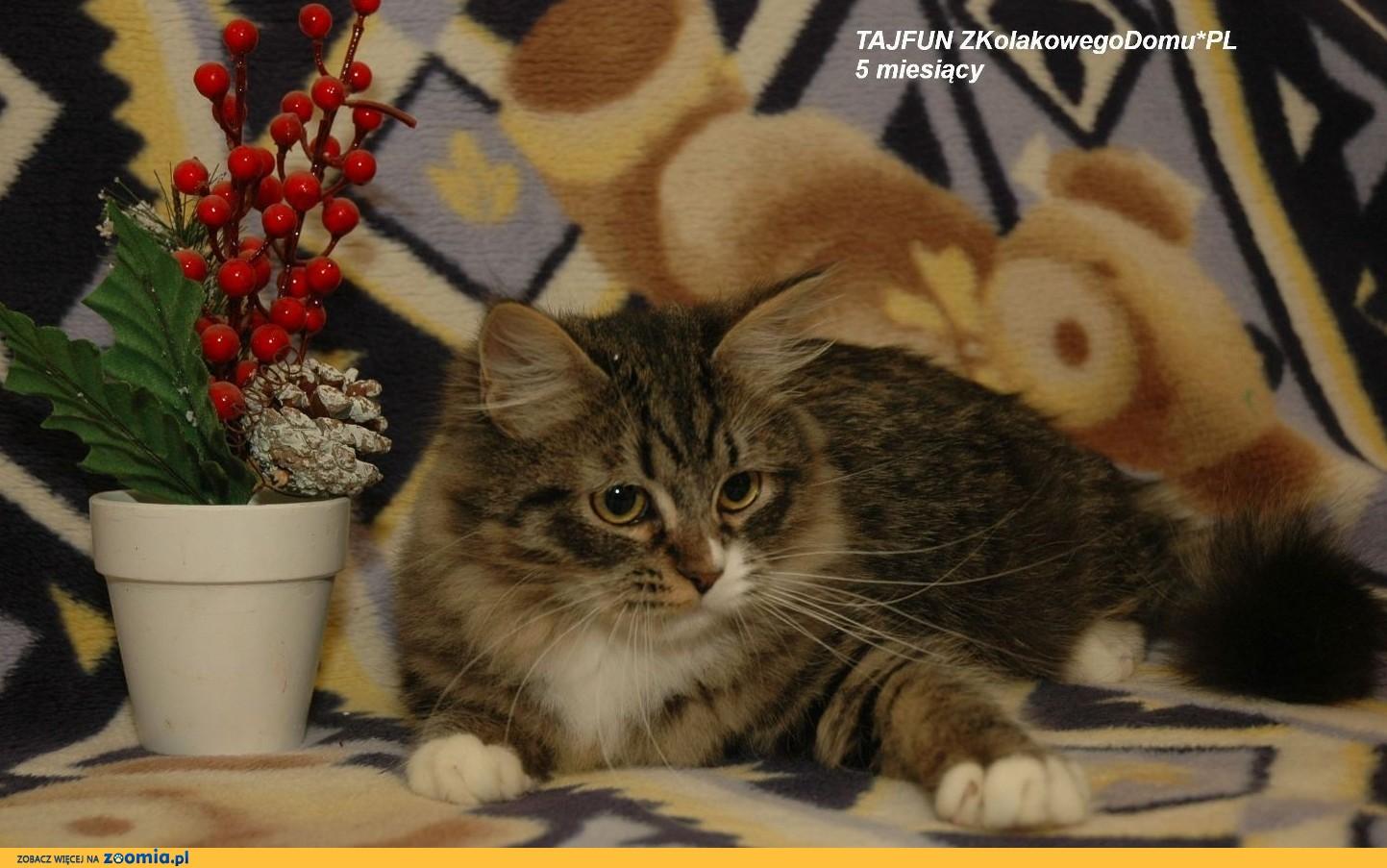 Koty Syberyjskie (FPL) - TAJFUNZKolakowegoDomu*PL