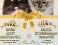 'Koty Syberyjskie (FPL) - TAJFUNZKolakowegoDomu*PL