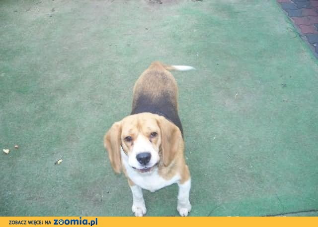 Suczka beagle oddam