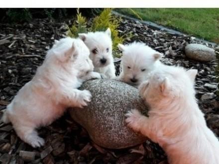 Szczeniaki West Higland White terrier 3 suczki odbiór od 25032020
