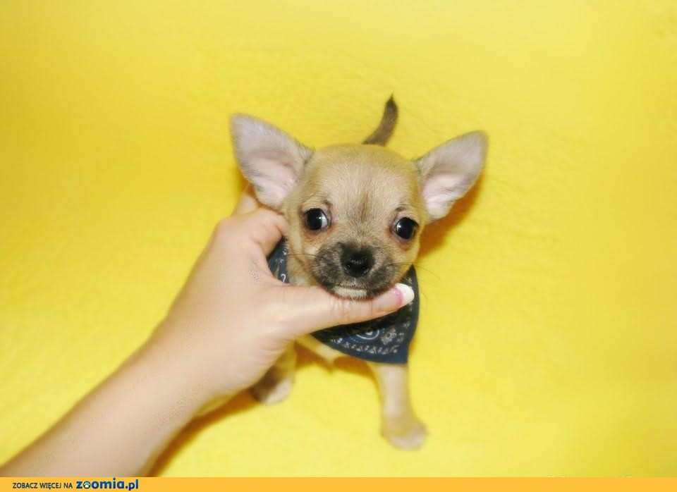 BISZKOPTOWY okruszek piesek chihuahua PRZECUDNY MINI słodziak :-)