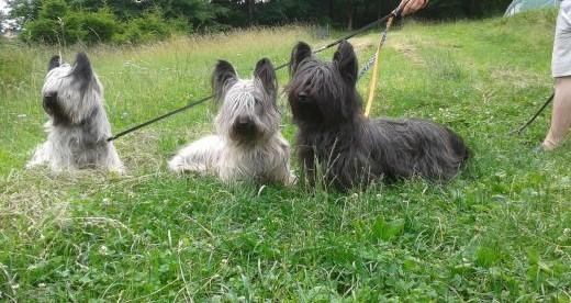 Skye terrier rodowodowy   dolnośląskie Duszniki-Zdrój