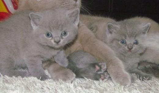 Oddam kociaki brytyjskie   lubelskie Zamość