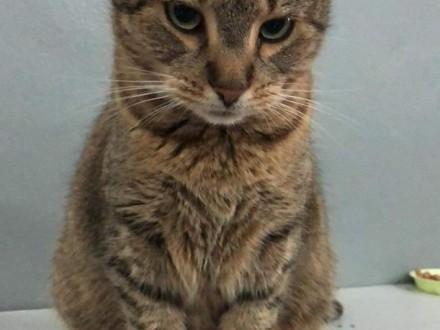 Spokojna  kontaktowa kotka szuka domu najlepiej jako kocia jedynaczka