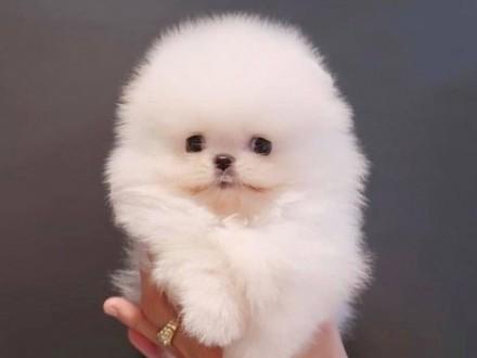 Pomeranian Szpic miniaturowy - samczyk