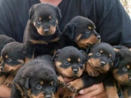 Rottweiler szczenięta dobrze wyszkolonych