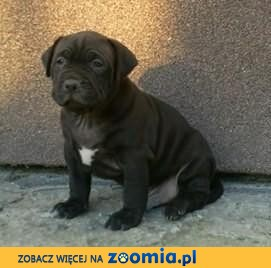 Szczeniaki American Pit Bull Terrier