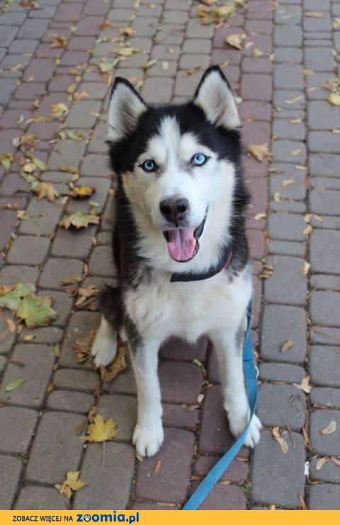 Orion, niebieskooki HUSKY mix, cudowny, pozytywny psiak do adopcji!