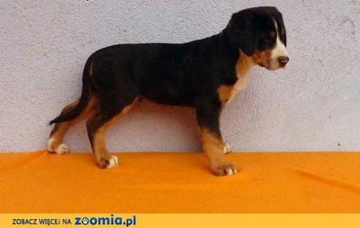 Duży Szwajcarski Pies Pasterski,  śląskie Cieszyn