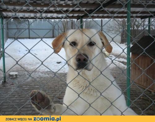 Bubu - biszkoptowy labrador z utęsknieniem czeka na dom