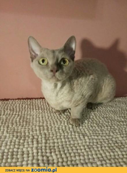 W superbly Kot Devon Rex - ogłoszenia z hodowli. Koty Devon Rex / Zoomia.pl pl 1 HR36