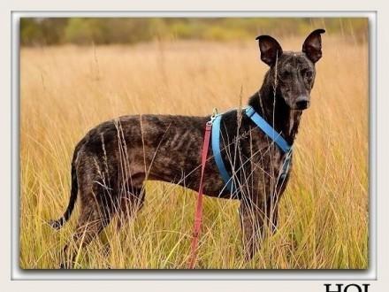 Duży dystyngowany spokojny pies w typie charta szczepiony HOLAdopcja