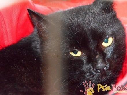 TONIC-spokojny  troszkę nieśmiały  piękny czarny kotek szuka domu  adopcja