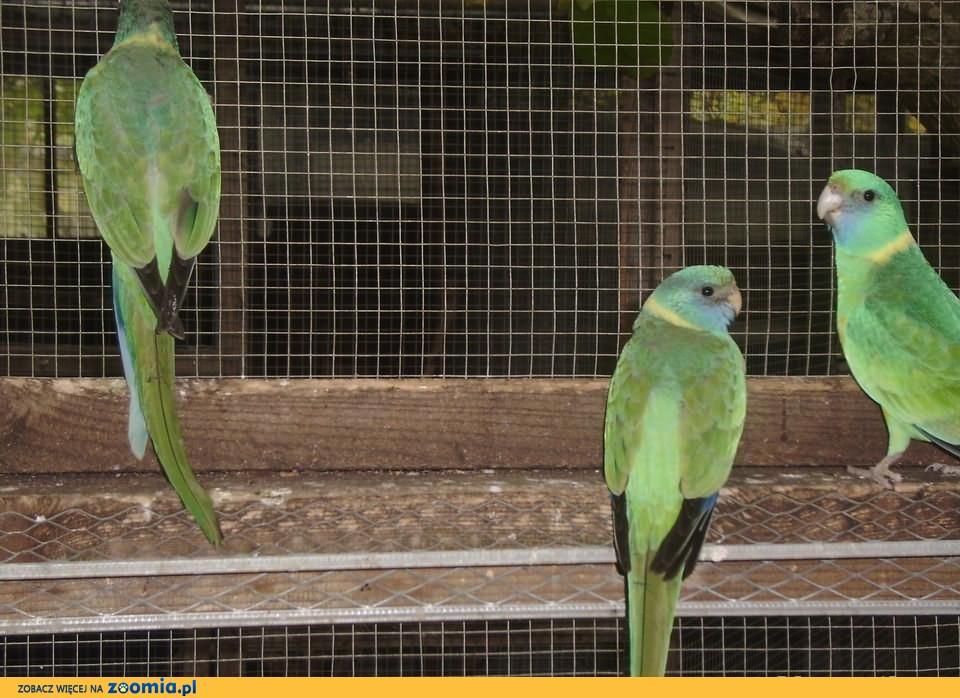 Barnad klonkurski dorosła samica i 2 młode.