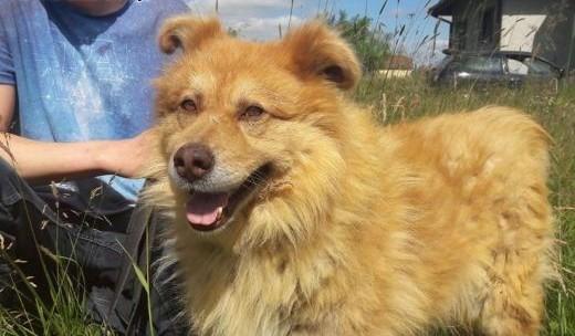 ORZECH większy  piękny pies z miękkim futerkiem- ułożony  spokojny ADOPCJA   łódzkie Łódź