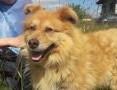 ORZECH większy, piękny pies z miękkim futerkiem- ułożony, spokojny ADOPCJA,  łódzkie Łódź