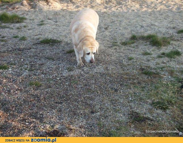 Karmelka - uroczy mini labrador do adopcji