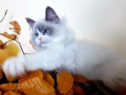 Ragdoll puchate  wesołe  super zsocjalizowane kocięta rodowód