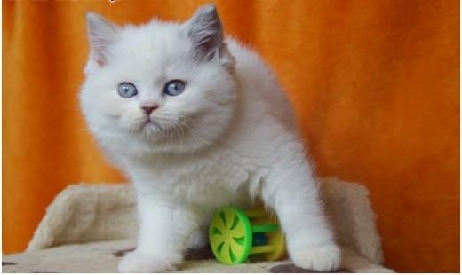 Kocięta brytyjskie kotka brytyjska o rzadkim umaszczeniu point bikolor   mazowieckie Grójec