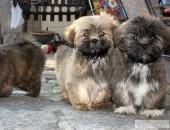 Lhasa Apso szczeniaczki po Chionach