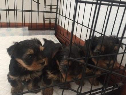 Yorkshire Terrier szczenięta na sprzedaż