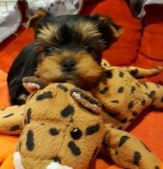 Yorkshire Terrier -MINI-mini-piesek