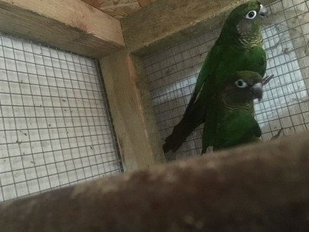 Papugi Rudosterki Brązowouche para