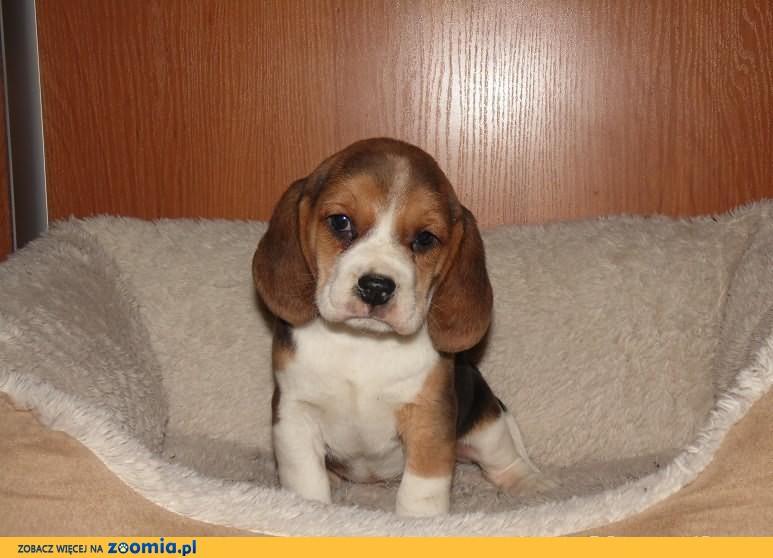 beagle, śliczne szczenięta