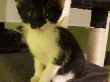 SHIMMER - energiczna i żywiołowa kotka szuka domu!