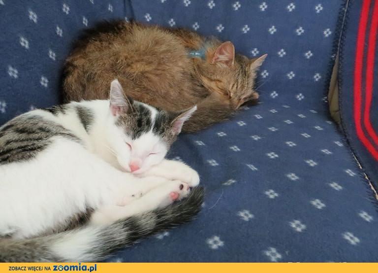 Śliczna 4-miesięczna znaleziona kotka do pilnej adopcji !