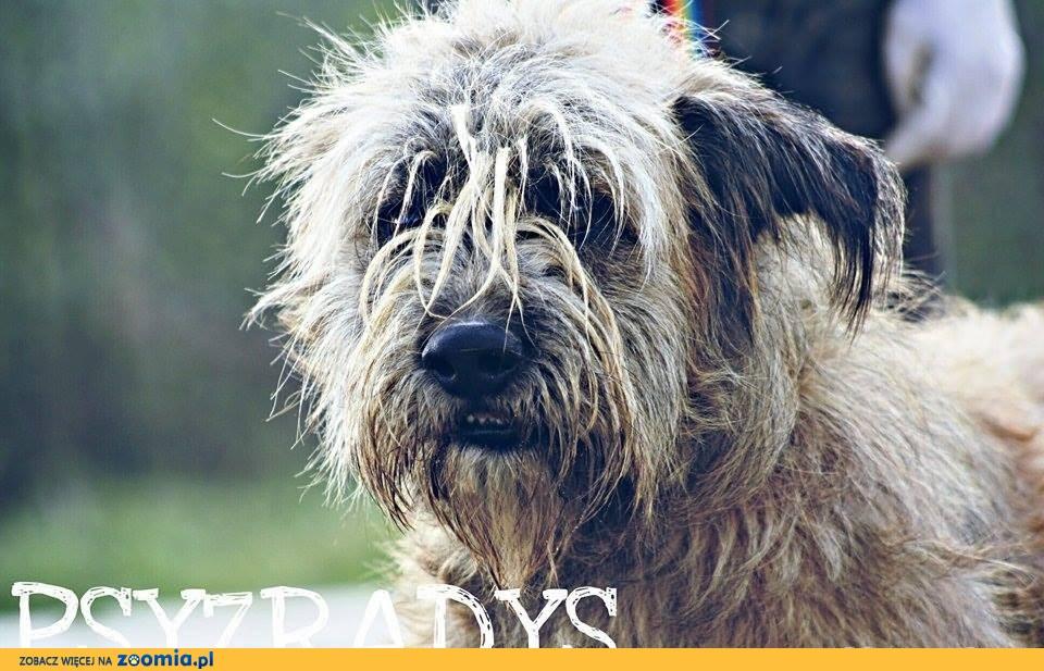 Roki - cudowny pies w typie briarda do adopcji