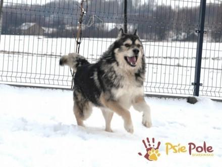 BESKID-wspaniały psiak w typie szorstkowłosego malamuta- szukamy domu